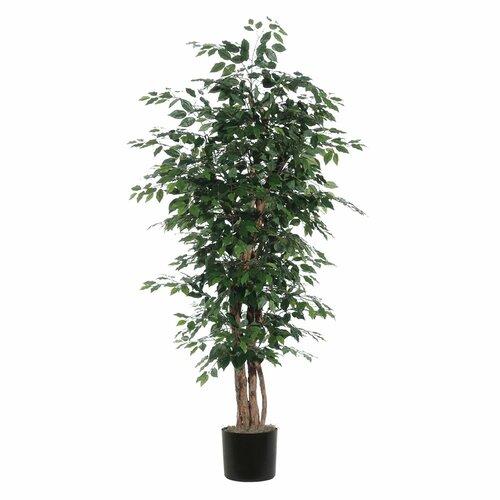 Vickerman Co. Ridge Fir Ficus Executive Tree in Pot