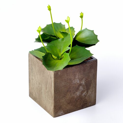 Sage & Co. Sonoran Highlands Cabbage Succulent Desk Top Plant in Pot