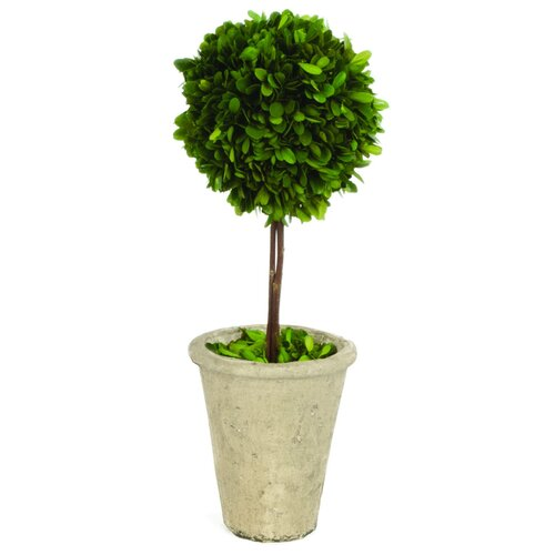 Sage & Co. Single Ball Boxwood Round Tapered Topiary in Planter