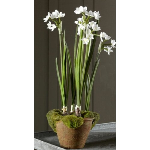 Sage & Co. Fleur Potted Paperwhites