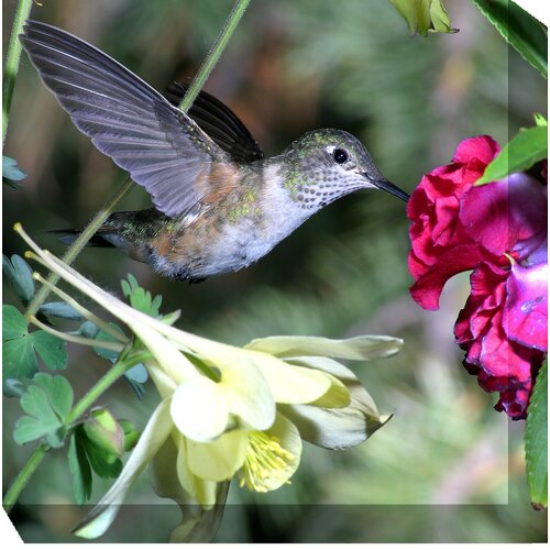West of the Wind Outdoor Canvas Art Hummingbird #4 Photographic Print on Canvas
