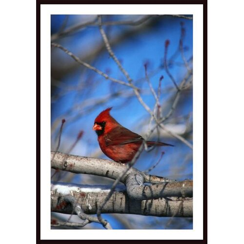 'Male Northern Cardinal Bird' by David Spier Framed Photographic Print