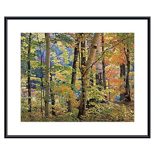 Maples and Birches by Joseph Holmes Framed Photographic Print