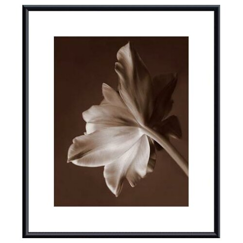 Barewalls Moonglow Tulip by Rebecca Swanson Framed Photographic Print