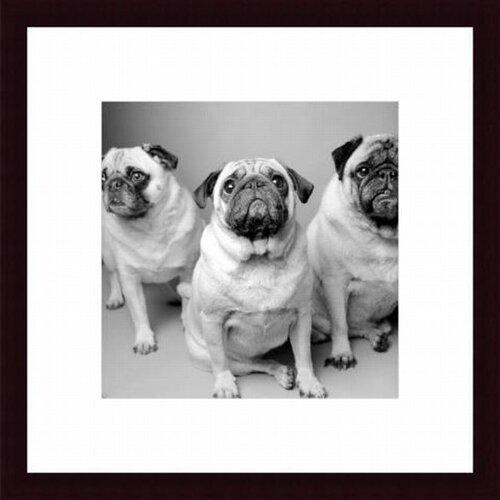Barewalls Three Pugs by Amanda Jones Framed Photographic Print