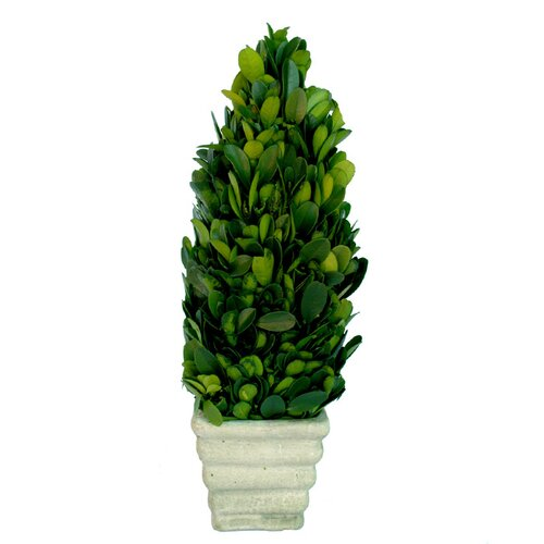 Mills Floral Boxwood Small Cone Topiary in Pot