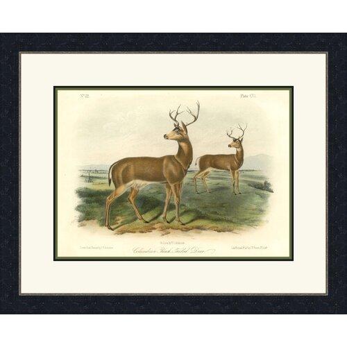 Columbian Black Tailed Deer Framed Graphic Art