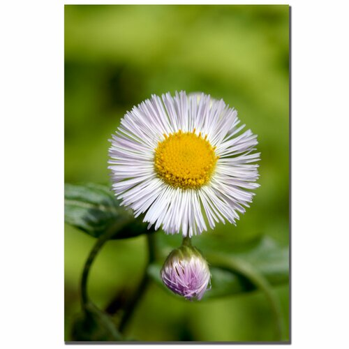 Trademark Fine Art 'Philadelphia Fleabane' by Kurt Shaffer Photographic Print on Canvas