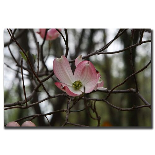 Trademark Fine Art Pink Dogwood by Cary Hahn Photographic Print on Canvas