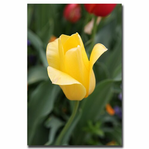 Trademark Fine Art Yellow Tulip by Cary Hahn Photographic Print on Canvas