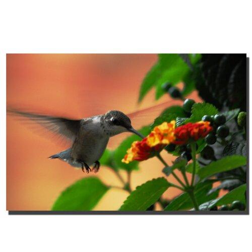 "Trademark Fine Art ""Hungry Hummingbird"" by Kurt Shaffer Photographic Print on Canvas"
