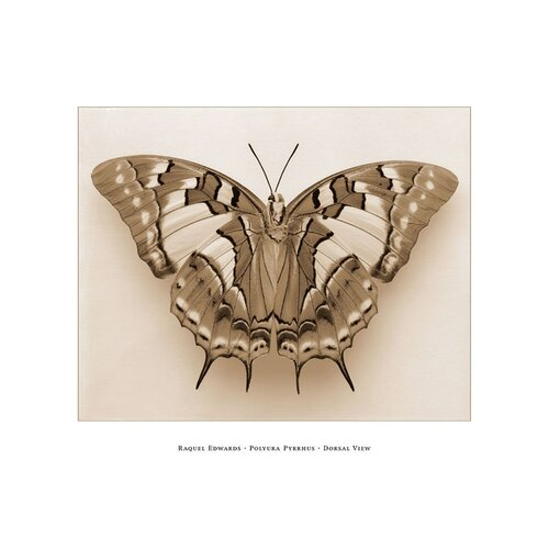 Polyura Pyrrhus Dorsal View by Raquel Edwards Photographic Print