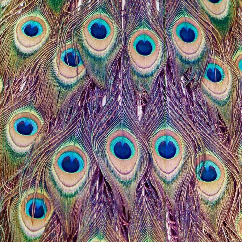 """Salty & Sweet """"Peacock Feathers"""" Graphic Art on Canvas"""