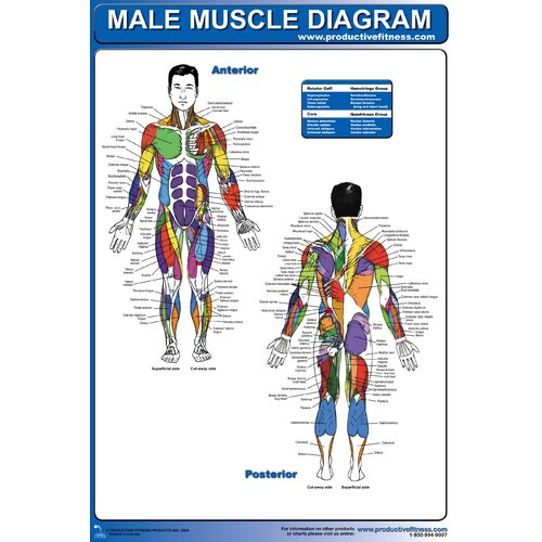 Productive Fitness Publishing Male Muscle Diagram Poster