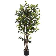 Ficus Bushy Tree in Pot