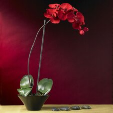 Holiday Phalaenopsis Orchid with Dish