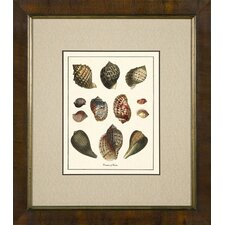 Varieties of Tonna Framed Print