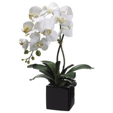 Phalaenopsis(P) Flower