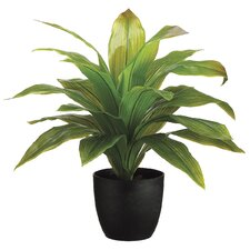 Dracena Box Desk Top Plant in Pot