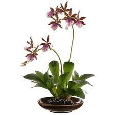 "14"" Two Zycopettalum Orchid Plant with Ceramic Bowl"