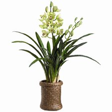 Cymbidium Orchid Plant in Basket