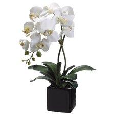 Phalaenopsis Flower with Vase