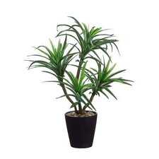 Dracena Floor Plant in Pot