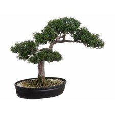 Cedar Bonsai Tree in Pot