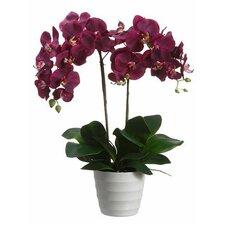 Phalaenopsis Plant in Plastic Pot