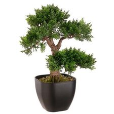 Cedar Bonsai Tree in Planter