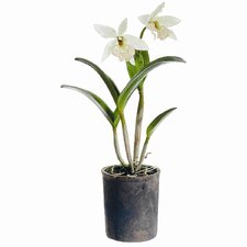 """22"""" Cattleya Orchid Plant with Clay Pot"""