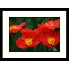 Florals Red Iceland Poppies Framed Photographic Print