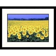 Florals Kansas Sunflowers Framed Photographic Print