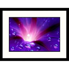 Drops on Moonflower Framed Photograph