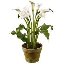 Calla in Clay Pot