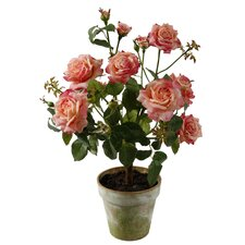 Potted Garden Rose