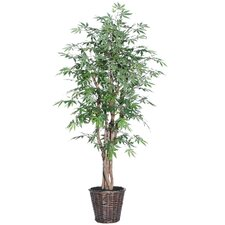 Blue Ridge Fir Executive Japanese Maple Tree in Basket