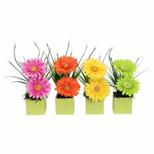Floral Gerbera Daisy in Lime Cube Asst X 4