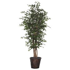 Blue Ridge Fir Executive Ficus Tree in Basket