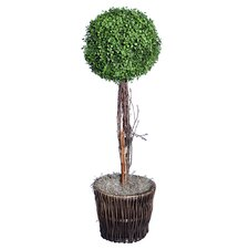 Boxwood Topiary Plant