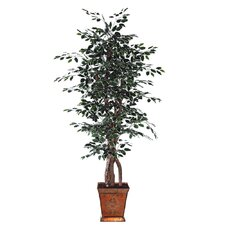 Blue Ridge Fir Executive Variegated Tree in Pot