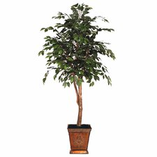 Blue Pencil Ficus Heartland Tree in Pot