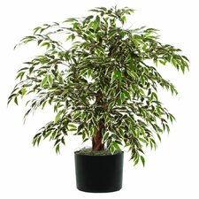 Extra Full Variegated Smilax Tree in Pot