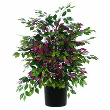 Extra Full Bush Capensia Tree in Pot
