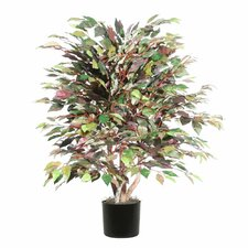 Extra Full Bush Mystic Ficus Tree in Pot