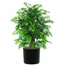 Extra Full Bush Ming Aralia Tree in Pot