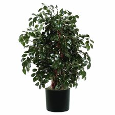 Extra Full Bush Sakaki Tree in Pot