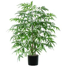 Extra Full Finger Aralia Tree in Pot
