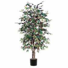Ridge Fir Mystic Ficus Executive Tree in Pot