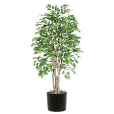 Ridge Fir American Elm Executive Tree in Pot